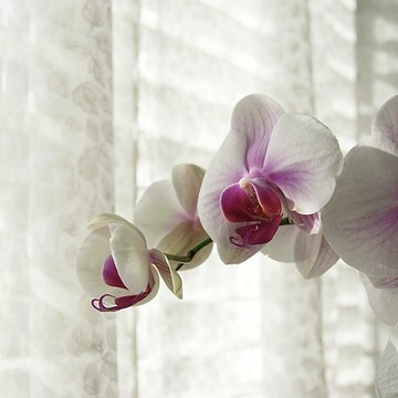 Moth Orchids Collection
