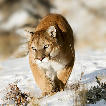 Mountain Lions Collection