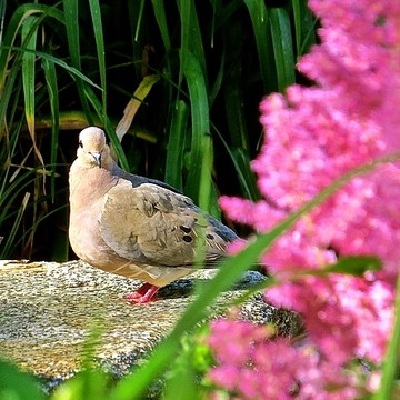 Mourning Doves Collection