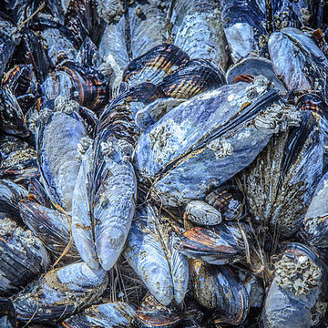 Mussels In Blue Collection