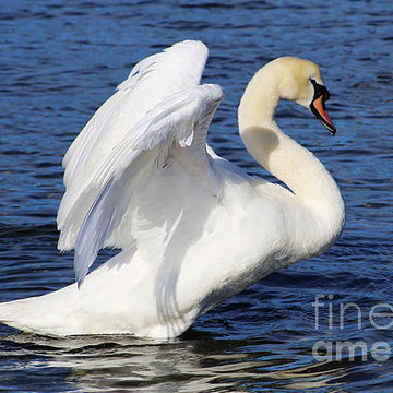 Mute Swans Collection