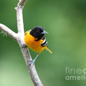 Northern Baltimore Oriole Collection