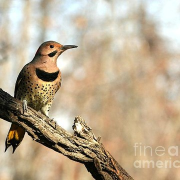 Northern Flicker Collection