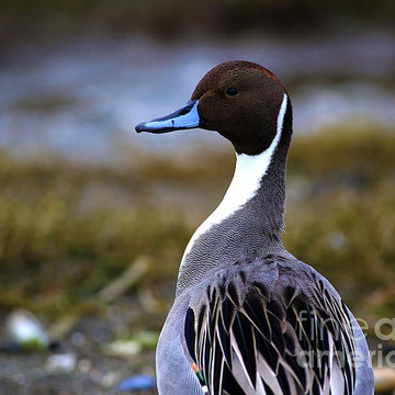 Northern Pintails Collection