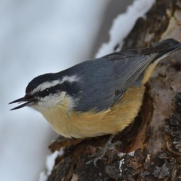 Nuthatches Collection