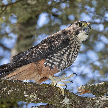 NZ Falcon Collection