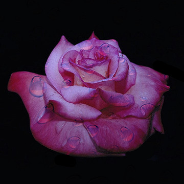 Only Roses Collection