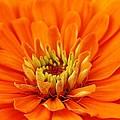 Orange Flowers Collection