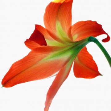 Orange Lilies Collection