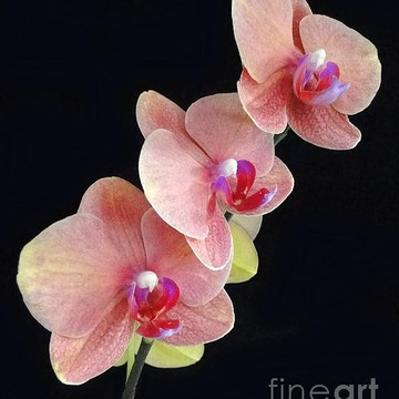 Orchid Beauty Collection