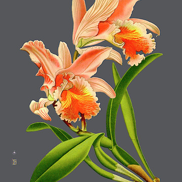 Orchid Old Print