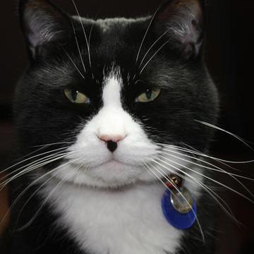 Oreo the Tuxedo Cat Collection