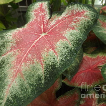 Ornamental Foliage Collection