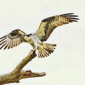 Ospreys Collection