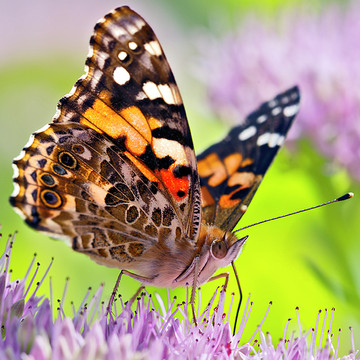 Painted Lady Butterfly Collection