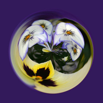 Pansies Collection
