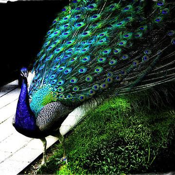 Peacock Alley Collection
