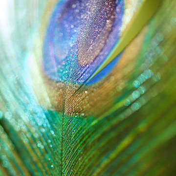 Peacock Feathers Collection