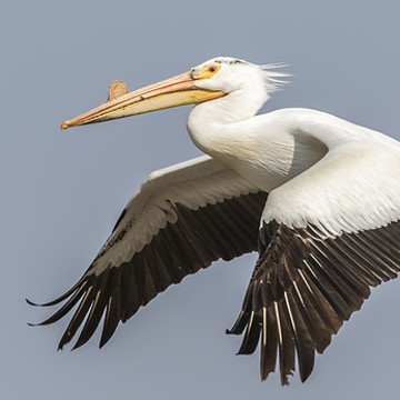 Pelicans Collection