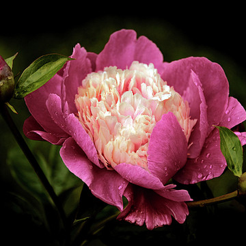 Peony Perfection Collection
