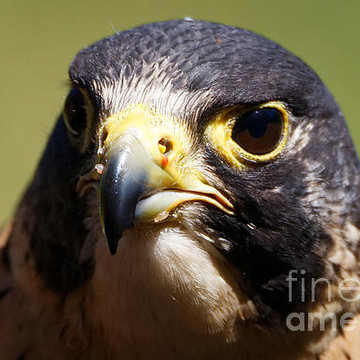 Peregrine Falcon Collection