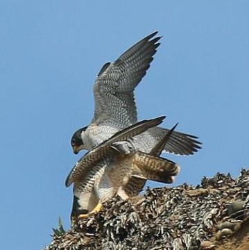 Peregrine Falcons Collection