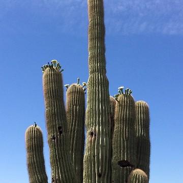 Phoenix AZ Saguaro Cactus Collection