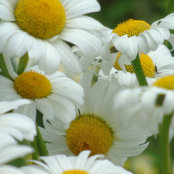 Photography - Daisy Collection