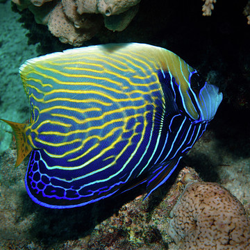 Photography - Fish Angelfish Collection