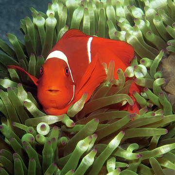 Photography - Fish Clownfish