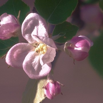 Photography - Fruit Tree Blossoms Collection