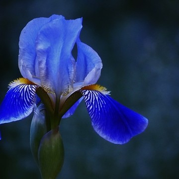 Photography - Iris Collection
