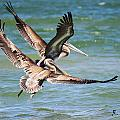 Photos-Birds Pelicans Collection