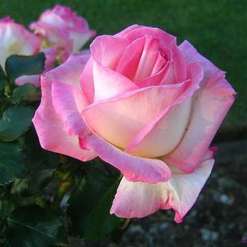 Pink Rose Artwork Collection