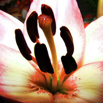 PISTILS and STAMEN Collection
