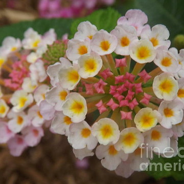 Plants with Clustered Flowers Collection