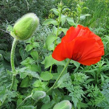 Poppies....Poppy Amapolas Vallmo Collection