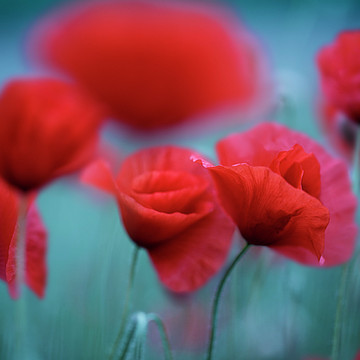 Poppy Flowers Collection
