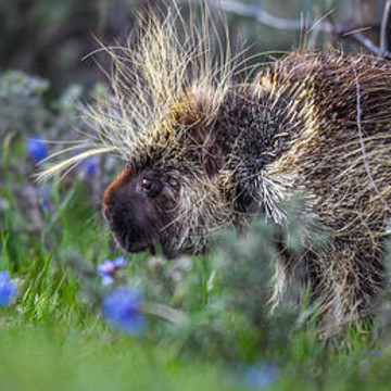 Porcupine Collection