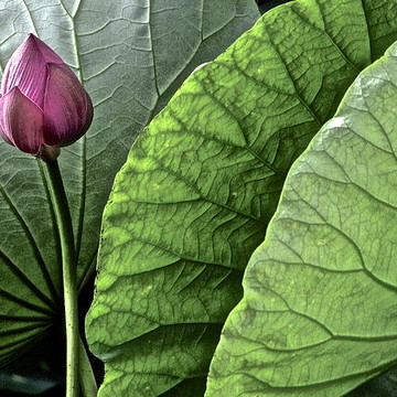 Portrait Of A Lotus