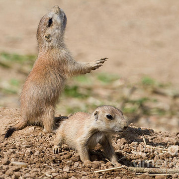 Prairie Dogs Collection