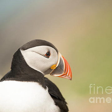 Puffins Collection