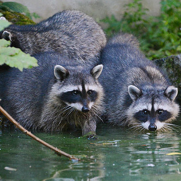 Raccoon Collection