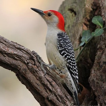 Red-bellied Woodpecker Collection