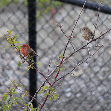 Red Finch Collection
