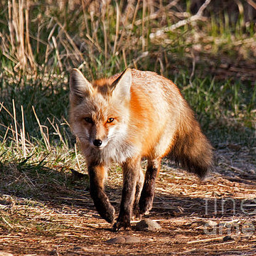 Red Fox Collection