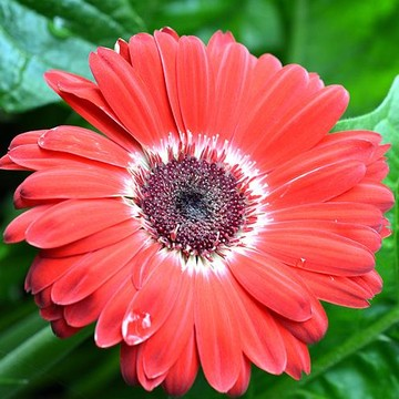 Red Gerberas Collection