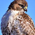 Red-Tailed Hawk Collection