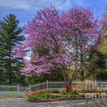 Redbud in Bloom Series Collection