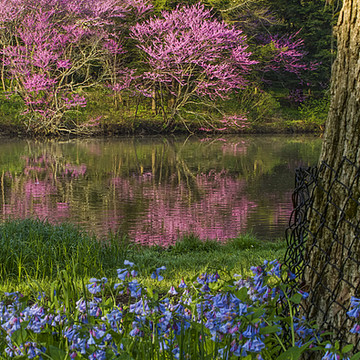 Redbud Trees Collection